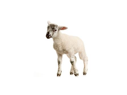 Starter complementary feed for lambs and kids | Bonmix